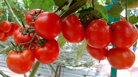 <a href='https://www.emlaktasondakika.com/haber-ara/?key=organik+domates'>organik domates</a>