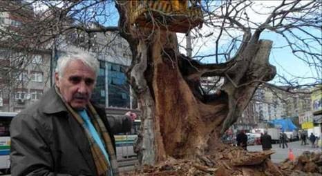 Zonguldak'ta Fatih'in diktirdiği ulu çınara bakım yapılıyor!