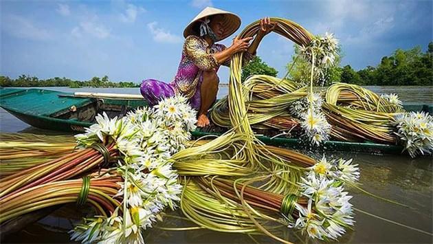vietnam,nilüfer,hasat, mekong deltası,dokuz ejder