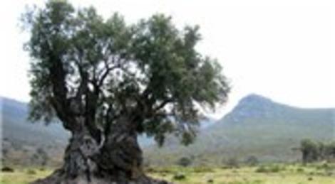 İsrailliler yeni Yahudi yerleşim yerleri için zeytin ağaçlarını katlediyor!