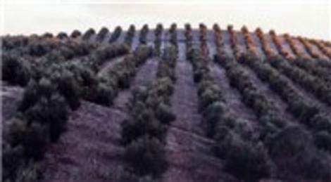 İzmir Çeşme'de 806 bin liraya satılık zeytin ağaçlı tarla!