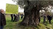 Mersin Mut'taki 1300 yıllık zeytin ağacının korunmaya alınması isteniyor