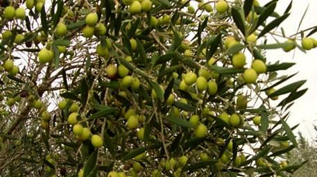 İzmir Menderes'te 1.2 milyon liraya satılık zeytinlik!