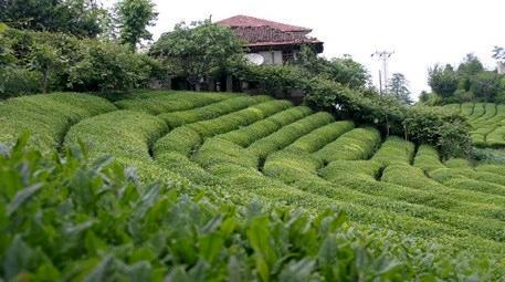 Rize'de çay bahçesi