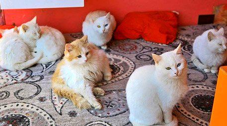 Van kedileri için özel ev!