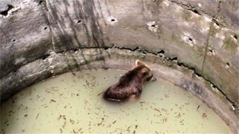 su kuyusuna düşen ayı