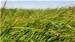 Atıl araziler dallı darıyla değerlenecek!