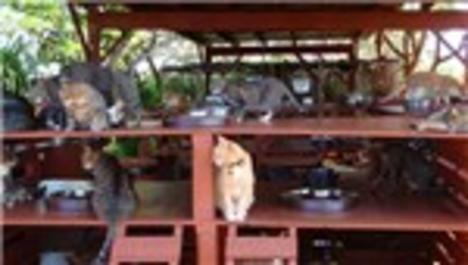 Hawaii'de başıboş kediler için barınak yaptılar