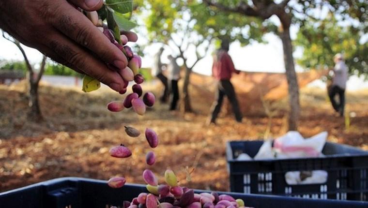 TÜBİTAK, Gaziantep'e fıstık işleme tesisi kuracak