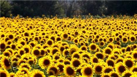 Trakya'daki ayçiçek tarlaları fotoğraf stüdyosuna döndü