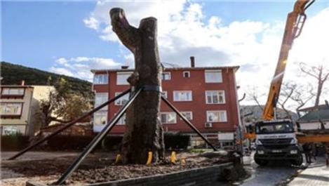 Anadolu Kavağı'nda devrilen 600 yıllık çınar ayağa kaldırıldı