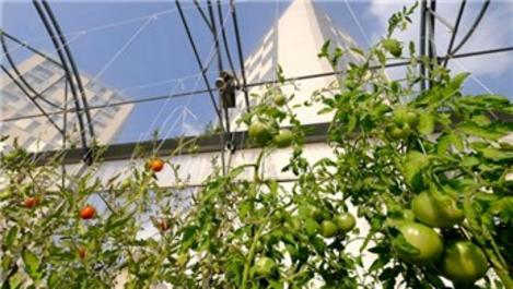Paris'in çatılarında 'kentsel tarıma' ilgi artıyor