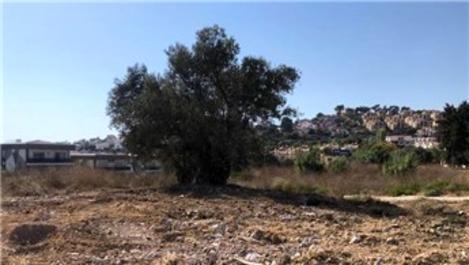 1500 yıllık zeytin ağacına bitişik villa yıkıldı
