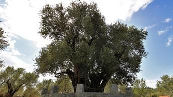 1658 yaşındaki ağaç meyve vermeye devam ediyor!