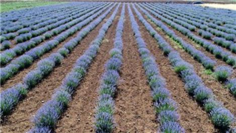 Konya'de dev araziye 200 bin lavanta ekildi!
