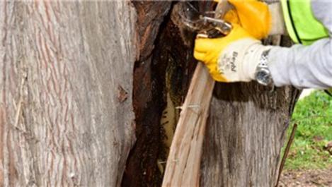 Tuzla'da 600 yıllık ağaç, arılara ev sahipliği yapıyor