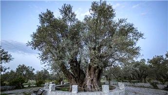 Çevre ve Şehircilik Bakanlığı, anıt ağaçlarının bakımını yapacak