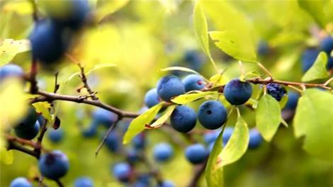 Prunus Spinosa, Düşler Vadisi'nde sizi bekleyen endemik bitkilerden!
